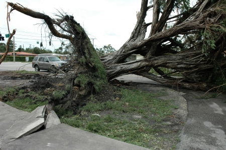 Massive ficus tree uprooted by hurricane