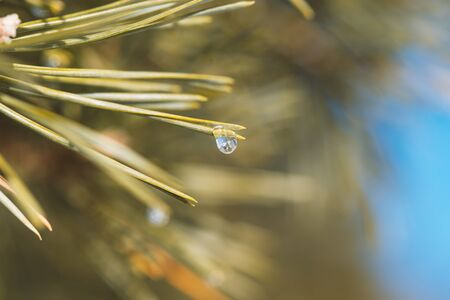 Pine branch with frozen water droplets on pine needles; freezing rain on a pine bough in spring