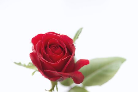 Beautiful red rose on white