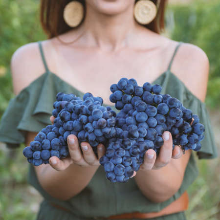 Grapes harvest. Womans hands with freshly harvested black grapes.