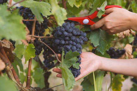 close-up man picking red wine grapes on vine in vineyard.harvest of blue grapes. fields vineyards ripen grapes for wine