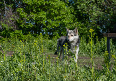 wolf-like dog in nature, watchdog or hunting dog