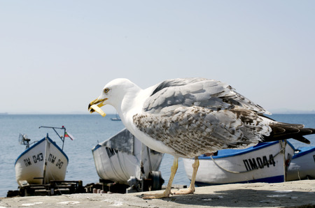 mew: HUNGRY HERRING-GULL Editorial