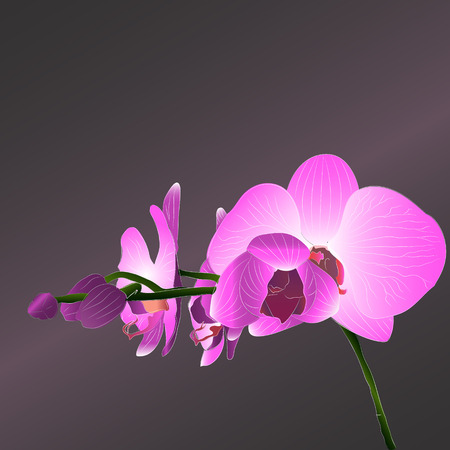 pink orchid: blooming pink orchid Illustration