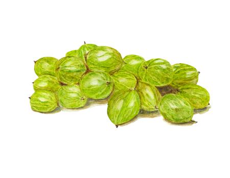 Illustrazione dell'alimento dell'acquerello dell'uva spina Illustrazione dell'acquerello dipinto a mano. Archivio Fotografico - 94301608
