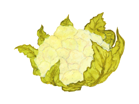 Ripe cauliflower with leaves on white background. Vettoriali