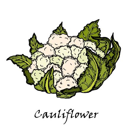 Cauliflower. Hand drawing of vegetables. Vettoriali