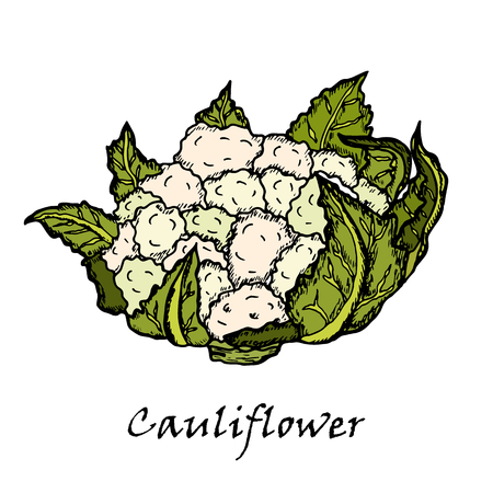 Cauliflower. Hand drawing of vegetables. Archivio Fotografico - 104634060