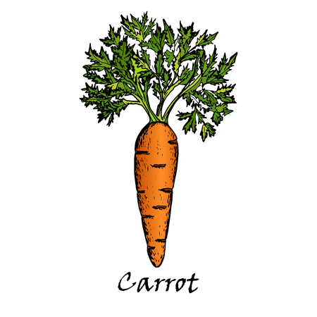 Hand drawn illustration of one carrot, isolated on white background