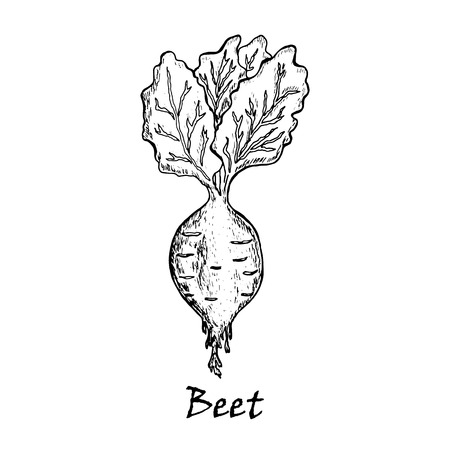 Hand drawn illustration of a beet with  leaves, isolated on white background Vettoriali