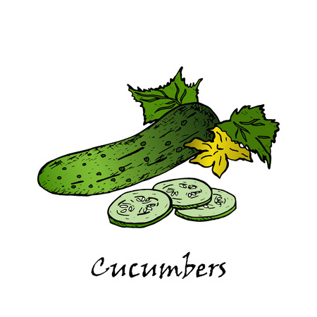 Cucumber hand drawn illustrations. Isolated cucumber. Farm market product.