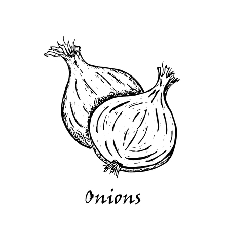 Hand drawn illustration of two onions, isolated on white background