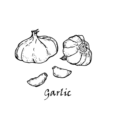 Hand-drawn illustration of two garlic, isolated on white background