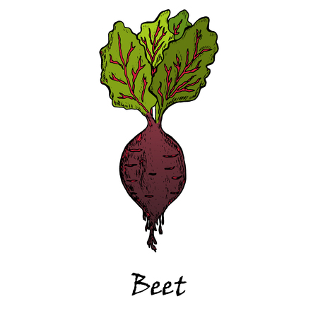 Hand drawn illustration of a red beet with green leaves, isolated on white background in vector. Vettoriali