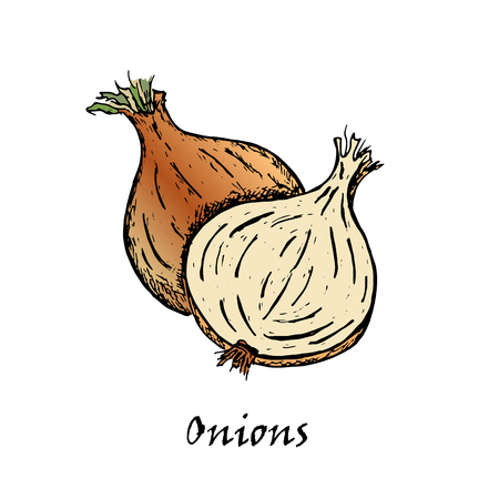 Hand drawn illustration of two onions, isolated on white background in vector.