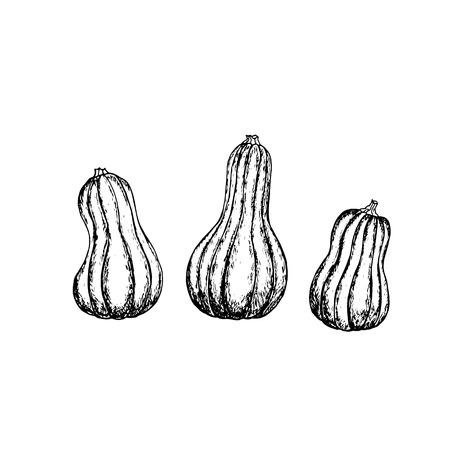 Pumpkin vector drawing.Farm market product. Hand drawn vector illustration. Archivio Fotografico - 109685920