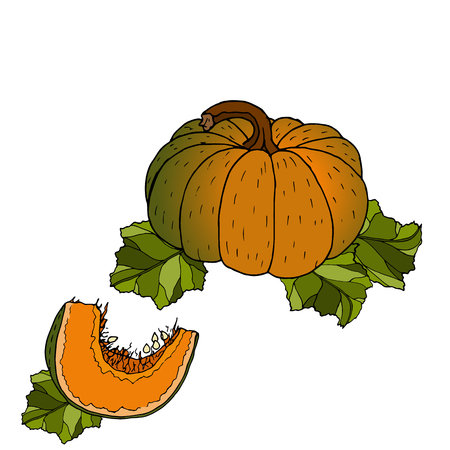 Different varieties of pumpkins. Sketches of orange vegetables. Vector illustration of the autumn harvest. Thanksgiving Day. Archivio Fotografico - 109685928