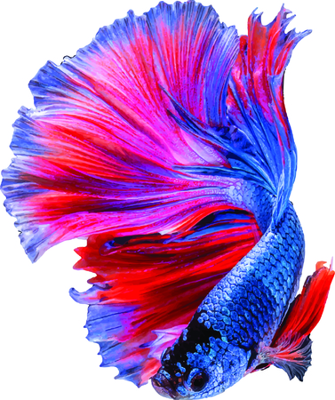fighting fish: fighting fish Illustration