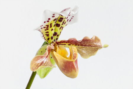 Paphiopedilum orchid flower photo