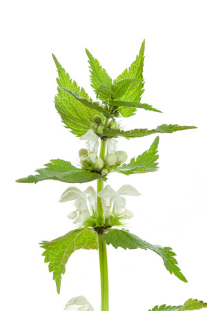White nettle flowers on a white background photo