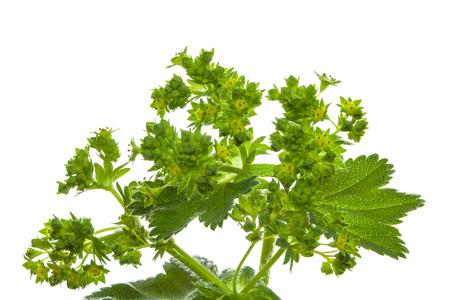 lady s: Se�ora s planta manto