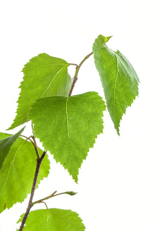 betula pendula: Silver birch leaves  on a white background Stock Photo
