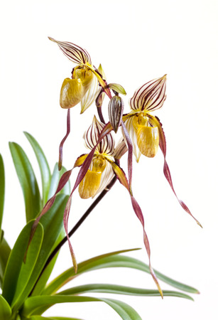 Paphiopedilum orchid on a white background photo