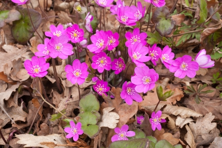 Violet color of Common Hepatica flower photo