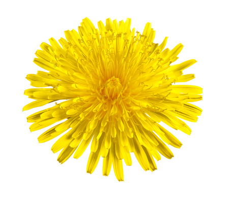 Yellow dandelion isolated on a white  photo