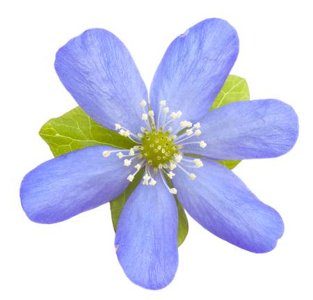 liverwort: Blue liverwort flower isolated on a white  Stock Photo