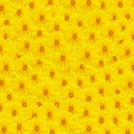 Beautiful yellow dandelion flower carpet photo
