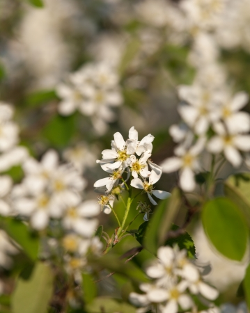 early summer: Bird Cherry flowers in early summer