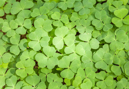 A large group of common wood sorrel leaves photo