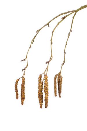 alder: Alder catkins isolated on a white background Stock Photo