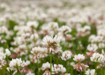 White clover flower photo