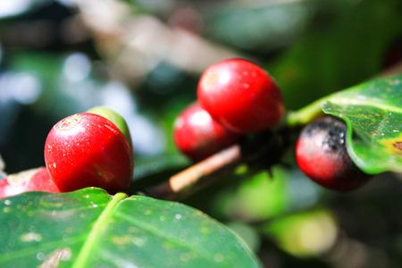 arabica coffee fruits Stock Photo