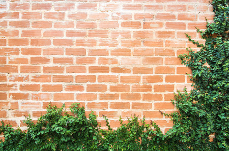 ivy on the brick wall photo