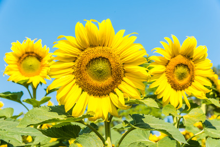 Sun flower in the farm with clear blue sky photo