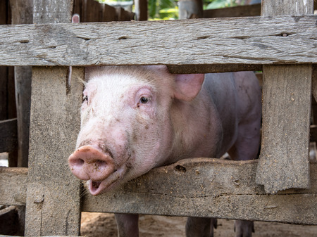 pig out: young pig show face out of wood cage Stock Photo