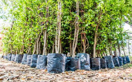 jonge boom kwekerij in zwarte plastic zak te wachten op planten Stockfoto