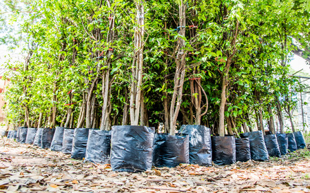 young tree nursery in black plastic bag waiting for plant Stock Photo