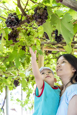 reach out: vine yard at Thailand, mother holding baby boy which reach out for grape bunch