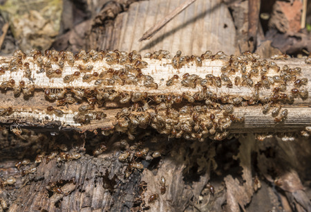 subterranean: Group of termite are eating wood, selective focus on cloudy group