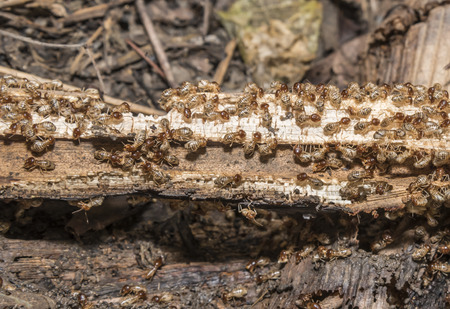 home destruction: Group of termite are eating wood, selective focus on cloudy group