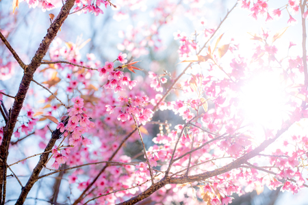 winter flower: Cherry blossom or  Sakura flower with blue sky, Chiang mai Thailand Stock Photo