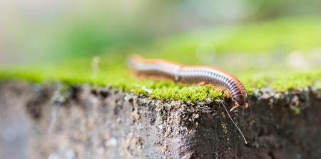 redbrick: Milliped climbing on redbrick with green moss