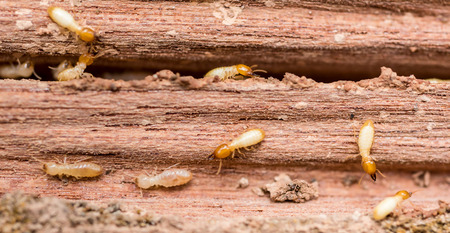 Old and grunge wood board was eating by group of termites