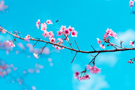 Kirschblüten oder Kirschblüte blühen in Nationalpark Chiang Mai Thailand