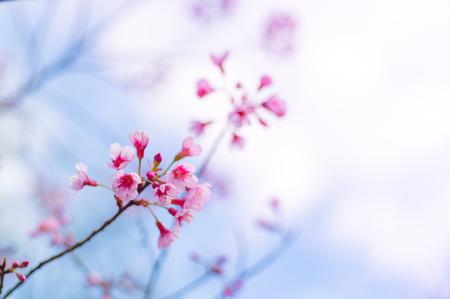 Cherry blossoms or Sakura flower in national park chiang mai Thailand