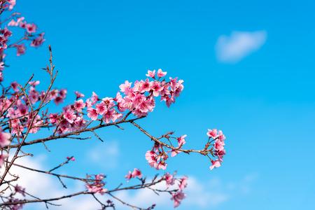 Flores de cerejeira ou flor Sakura no parque nacional chiang mai Tailândia Foto de archivo - 90667019